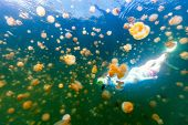 Underwater photo of tourist woman snorkeling with endemic golden jellyfish in lake at Palau. Snorkel poster