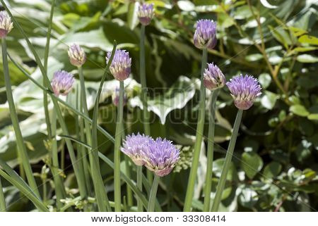chives few