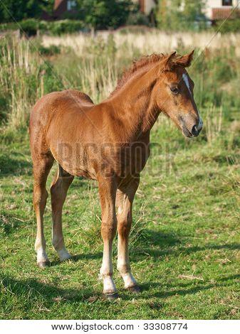Welsh Foal