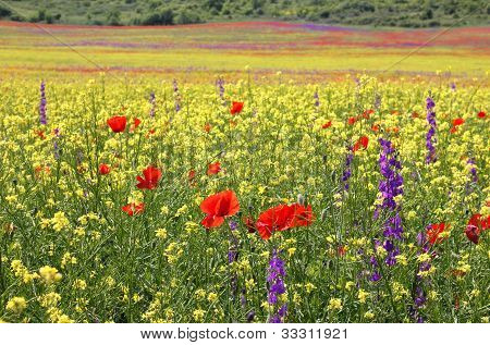 Bright Rapeseed Field With Poppies And Delphiniums