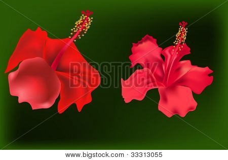 illustration with two red hibiscus flowers on green background