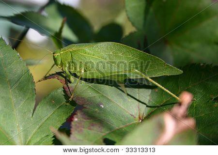 Camouflaged Leaf Bug