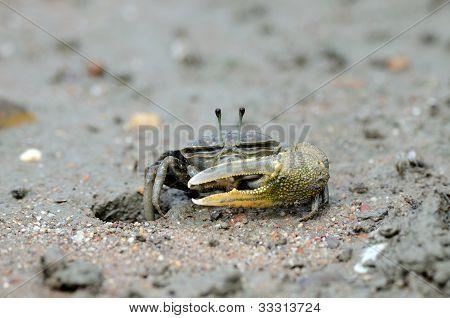 Sward Crab