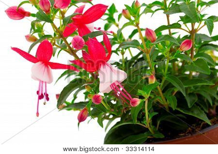 Blooming Fuchsia (fuschia Hybrida)