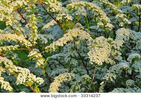 Spiraea bella (ulmaria) arbusto con flores blancas