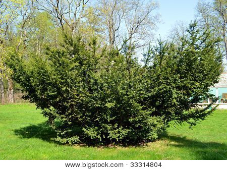 Yew Juniper Prickly Plant Grow Lawn Spring Garden