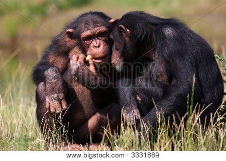 Chimpanzees Eating A Carrot