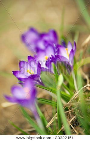 Crocus In Spring