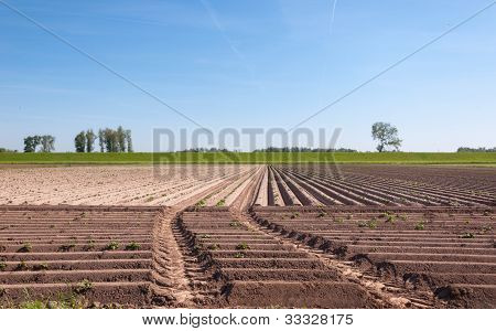 Young Potato Plants And A Dutch Dike