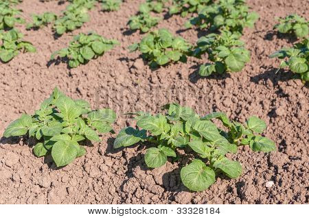 Young Potato Plants In Sunlight