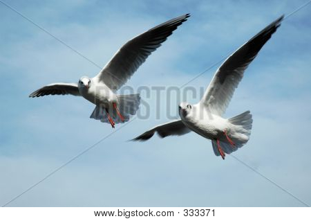 Two Seagulls Flying