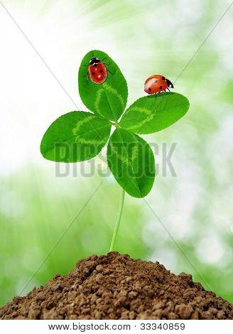 crescimento verde trevo com joaninhas