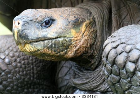 Close Up Giant Galapagos Tortoise
