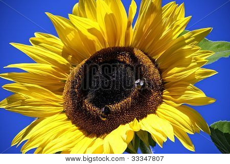 Sunflower with bumble bees