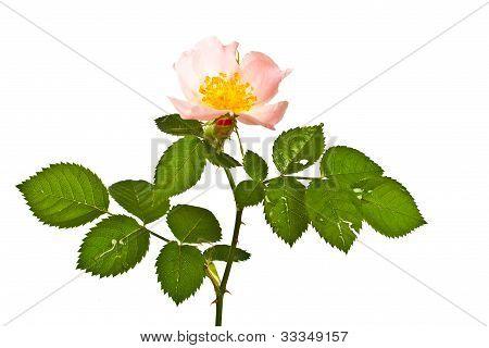 Flower Of Briar