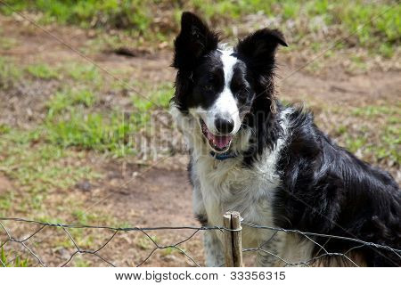 Boarder Collie