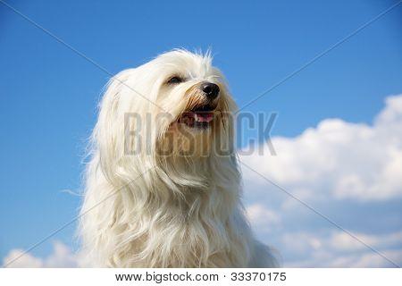 Havaneser Hunde