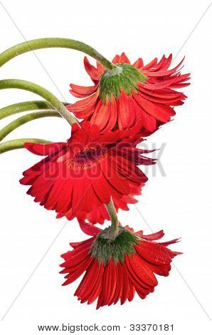 Hanging Red Gerbera Flower From The Top
