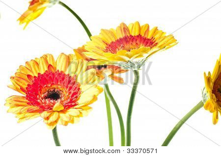 Orange Yellow Gerbera Flowers