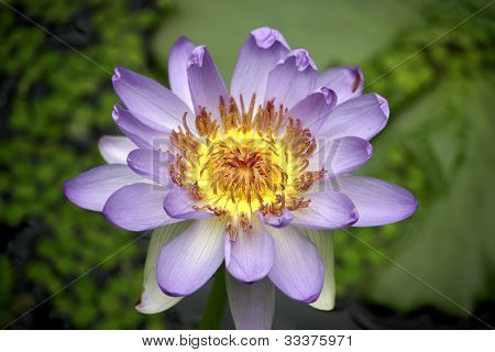 a yellow and violet flower