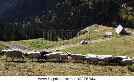 Flock of sheep in the mountains of Vranica