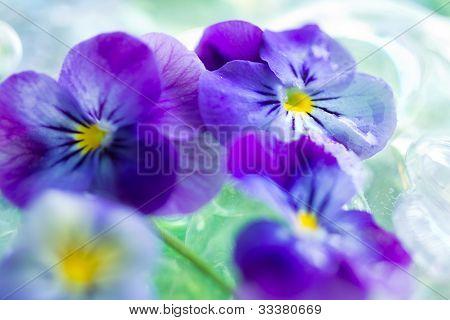 Purple Pansies Close Up