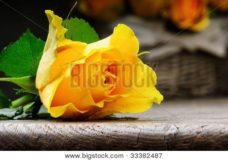 Freshly Cut Yellow Rose