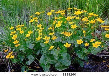 Marsh Marigold (caltha Palustris)