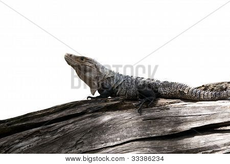 Ctenosaur