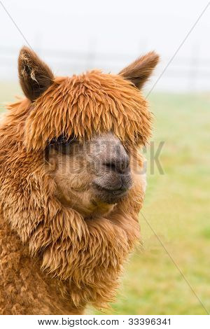A hairy brown Alpaca