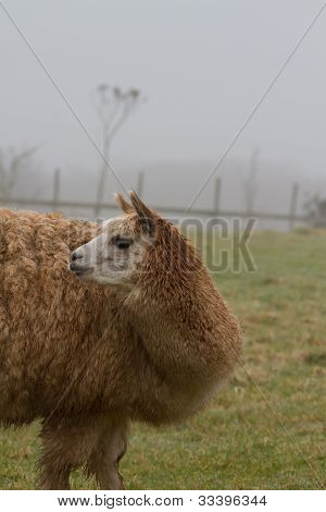 An Alpaca looking to the rear