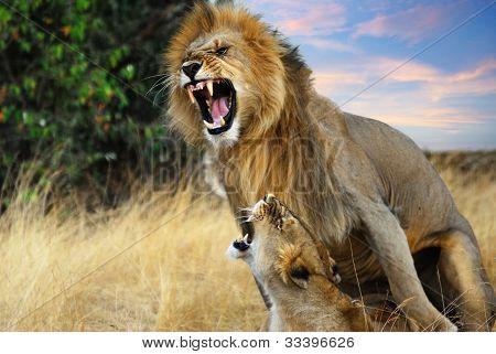 Apareamiento de leones
