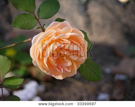 Rosa pêssego