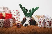 Adorable 4-month-old St Bernard Puppy On The Ground With Reindeer Antlers And Surrounded By Wrapped  poster