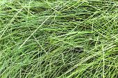 Abstract Background Of Dry Green Hay. The Natural Texture Of Dry Straw Is Made From Dry Grass. Pet F poster