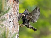 The Common Starling, Sturnus Vulgaris Is Flying With Some Insect To Feed Its Chick, The Young Bird I poster