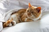 Red Cat Sleeping On A White Blanket. Lazy Red Cat Sleeping On Bed Linen. poster