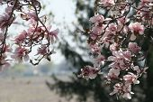 picture of japanese magnolia  - Photo of the distance through two branches of Japanese Magnolia tree in Spring - JPG