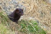 Wild Mink Looking From Burrow. Mustela Lutreola - Wild Predatory Furry Animal Hunting In Natural Hab poster