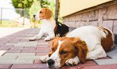 Epagneul Breton, Brittany Spaniel And Beagle Dog. Two Hounds Resting In Shade On Cool Bricked Sidewa poster