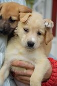 Close-up On A Cute Bright Puppies Sitting On The Hands Of A Man. One Puppy Laid A Paw On The Head Of poster