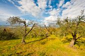foto of apennines  - Olive Grove on the Slopes of the Apennine Mountains Italy - JPG