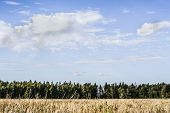 Natural Landscape Of The Field. Clouds Over The Forest. Blue Sky. Yellow Field And Green Trees On Th poster