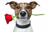 stock photo of dog-rose  - brown and white dog with a red rose - JPG