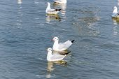 Pair Of Seagulls, Animal In Beautiful Nature Landscape, Two Birds Happily Floating On The Water Surf poster