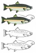 picture of chums  - Chum salmon fish in color and w - JPG
