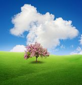picture of judas tree  - Legendary flowering Judas Tree on the green field - JPG