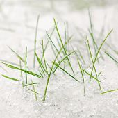 Green Grass Covered With Snow. White Snow On Green Grass. Weather And Environment. Cold Weather. Gre poster