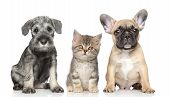 stock photo of scottish terrier  - Kitten and Puppy on a white background - JPG