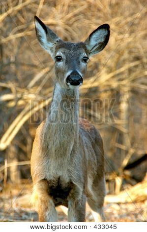White Tailed Mule Deer